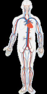 Hier siehst du grob Deinen Blutkreislauf