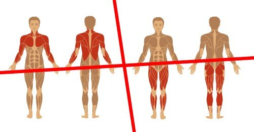 Welche Muskelgruppen zusammen trainieren - Unterteilung in Ober- und Unterkörper